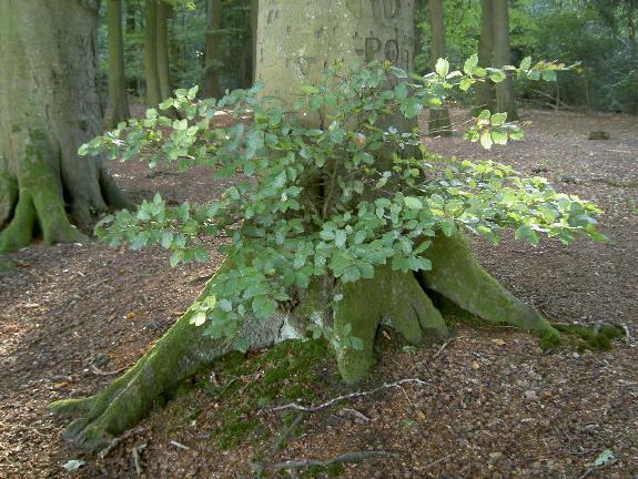 oude boom met jong boompje?