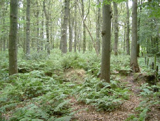 bos met varens