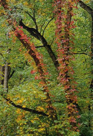 de klimplant is eerder aan de herfst toe dan de boom...