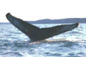 walvisflippers