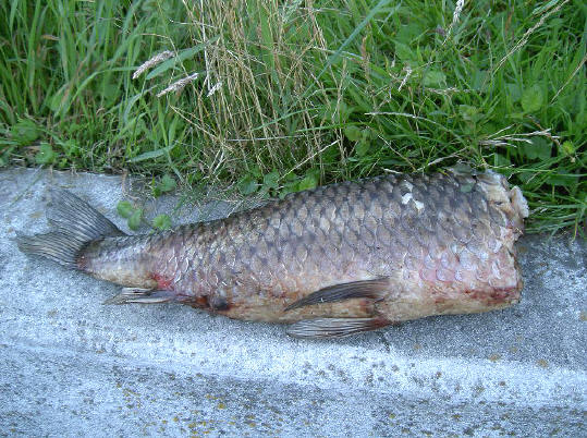 het bewijs dat er grote vissen zwommen...