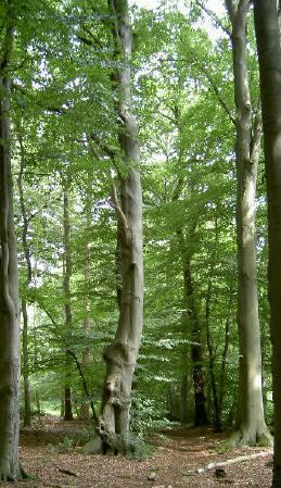 hoge bomen...