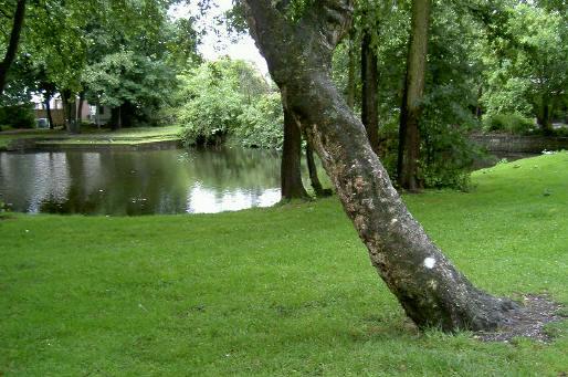 ook de mooie karakteristieke bomen moeten weg