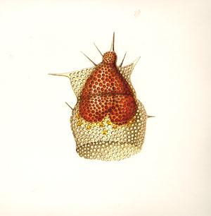 radiolarians II