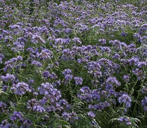 paarse velden